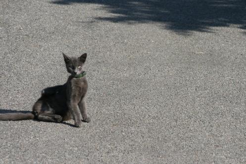 Chat de l'île de Molène